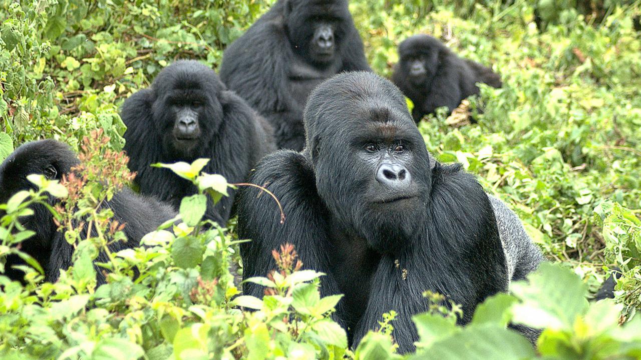 sn-gorillasHnnnnn